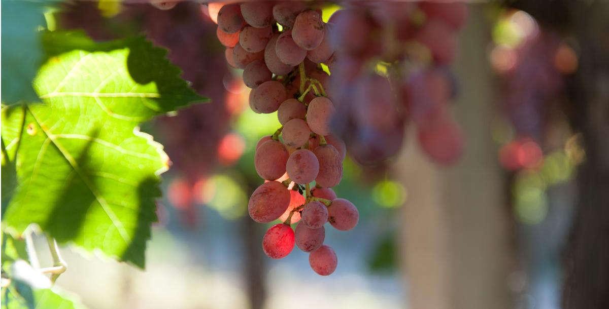 acheon-winery-aigialeia-roditis-opt
